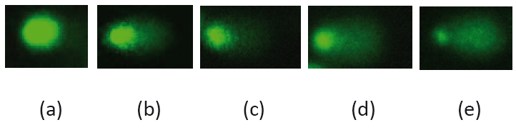Fig. 1: Typical comet images of MCF7 cells treated with TMPyP and light irradiation, representing different levels of DNA damage: (a) undamaged DNA (comet without tail); (b-d) levels of DNA damage; (e) the most damaged DNA.
