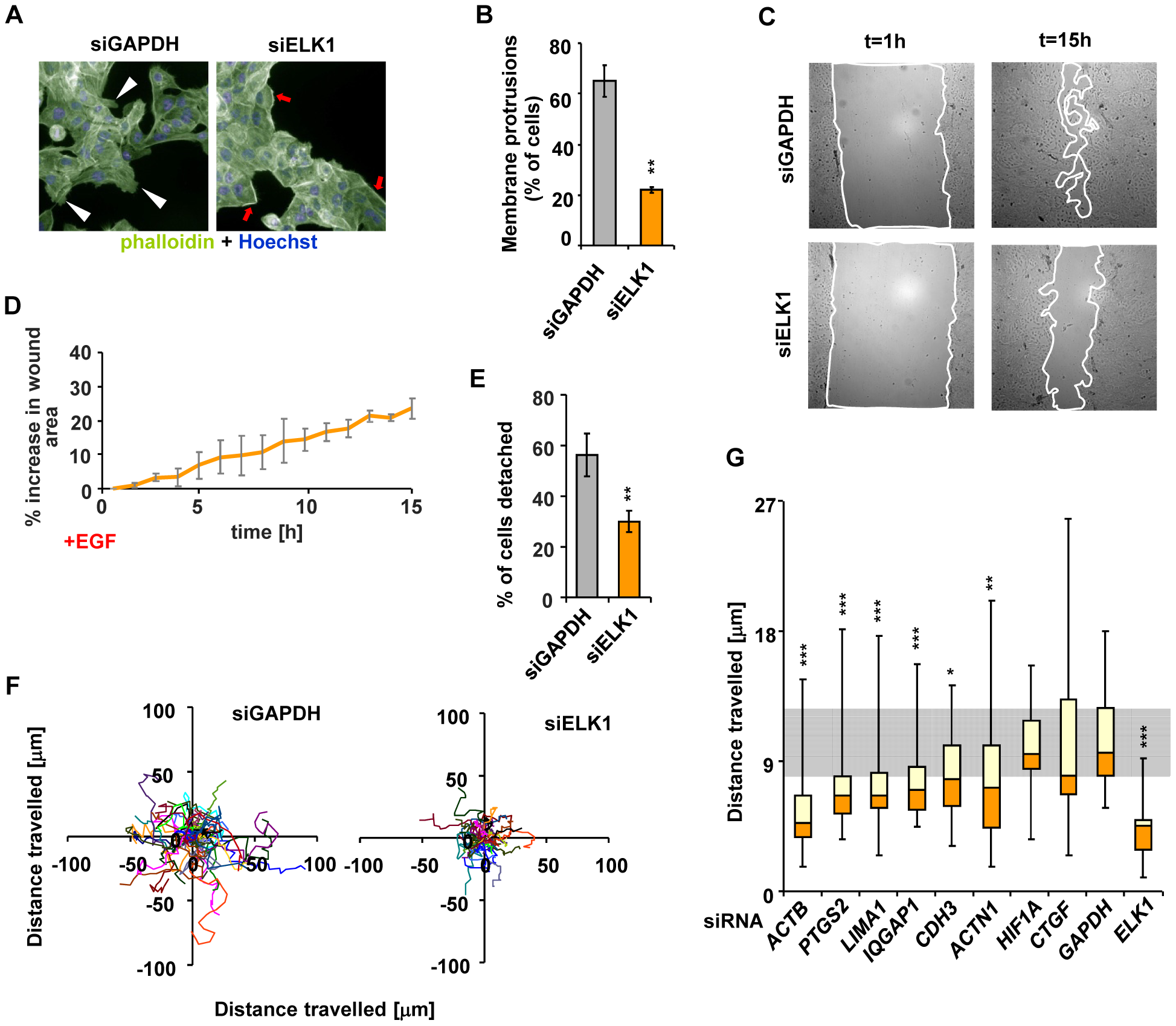 Depletion of ELK1 affects the cytoskeleton and the motility of MCF10A cells.