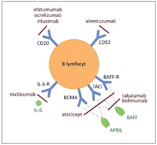 Na povrchu B lymfocytů jsou exprimovány molekuly, jež jsou přímým cílem některých protilátek. Fig. 1. Direct targets of anti-B cell therapy comprise surface molecules expressed by B cells.