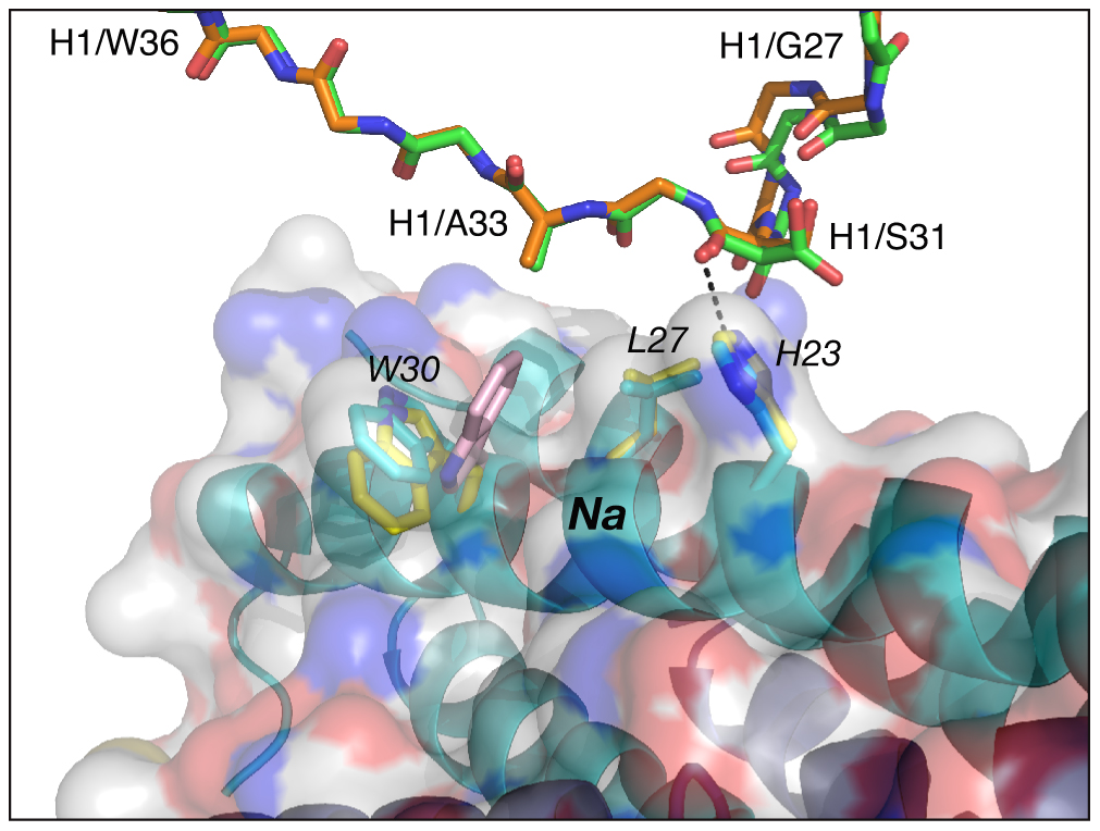 Comparison of the interactions of CDR-H1 of Fabs 8066 and 8062 with 5-Helix.