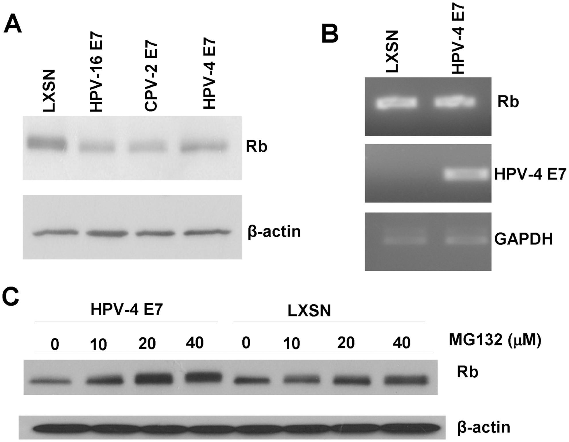 HPV-4 E7 also degrades pRb.