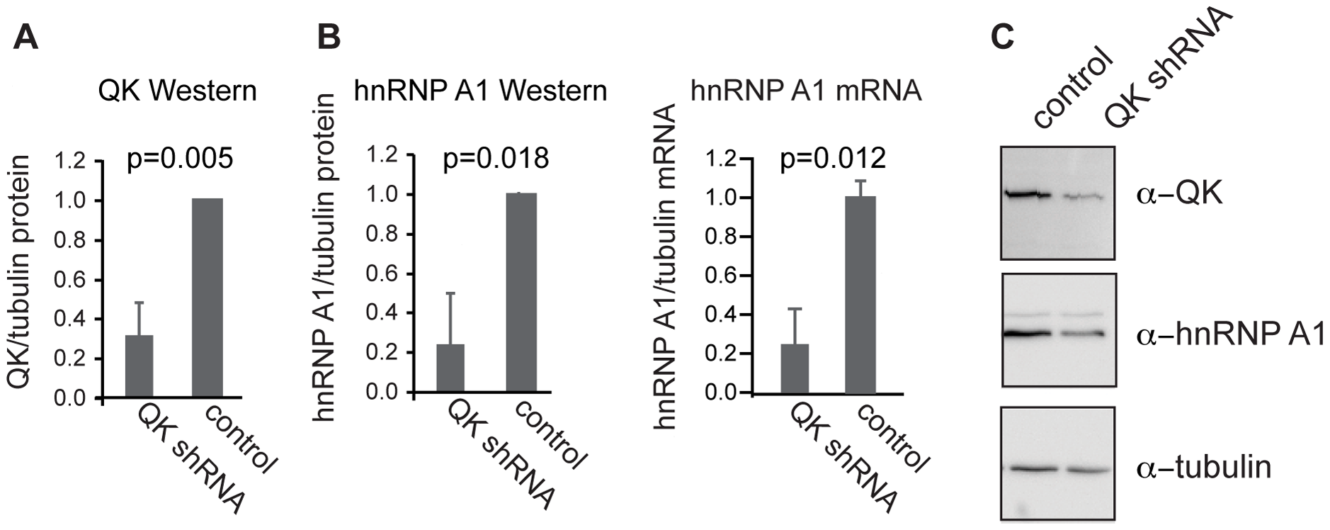 QK regulates expression of endogenous <i>Hnrnpa1</i>.