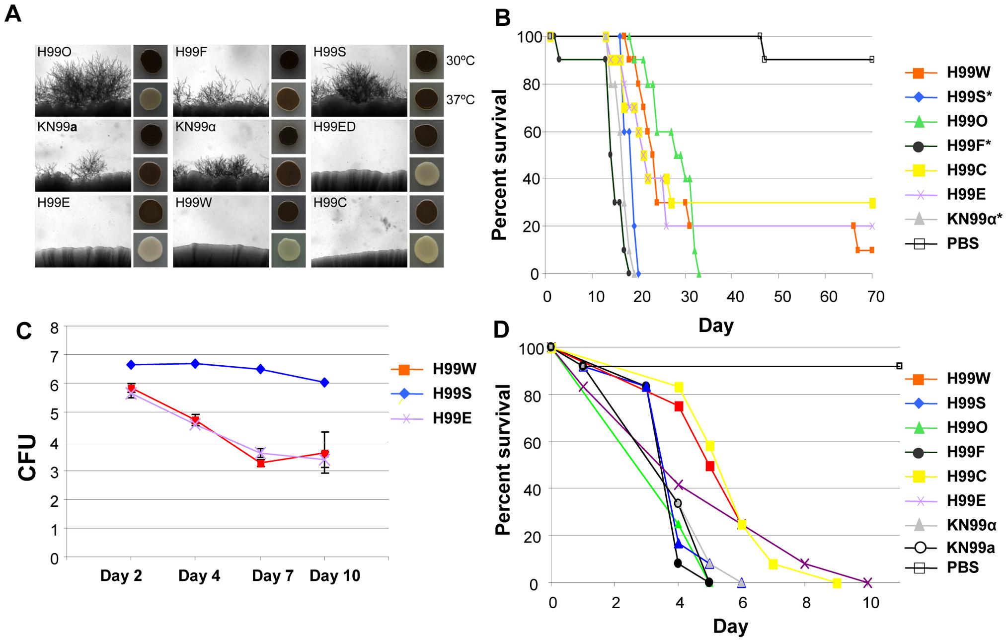 H99 passaged strains exhibit phenotypic variability.
