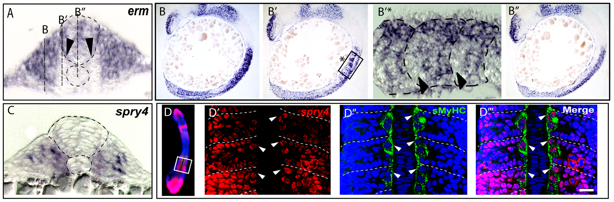FGF signaling is down regulated in muscle pioneer precursor domain.