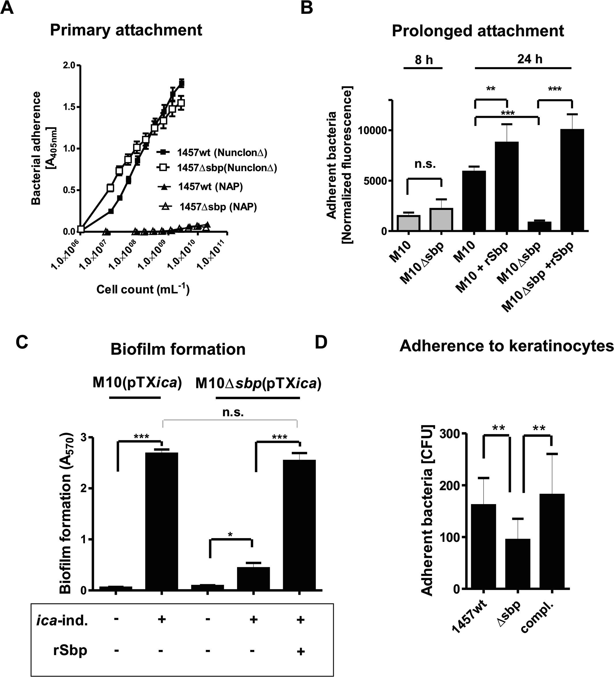 Functional role of Sbp in primary attachment.