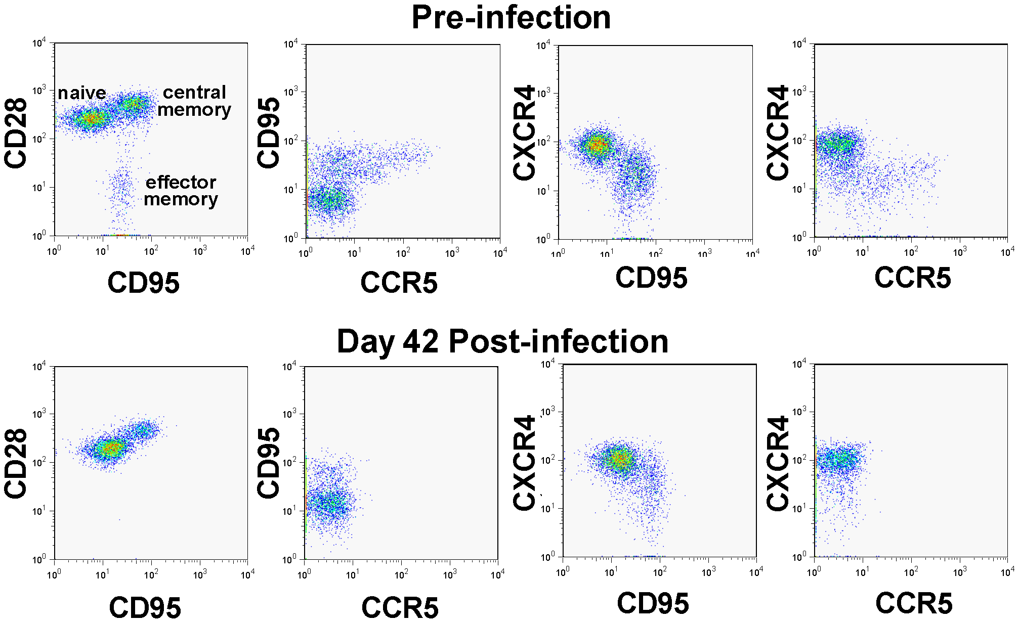 CD4<sup>+</sup> T cell depletion pattern in SIVagm-infected macaques.