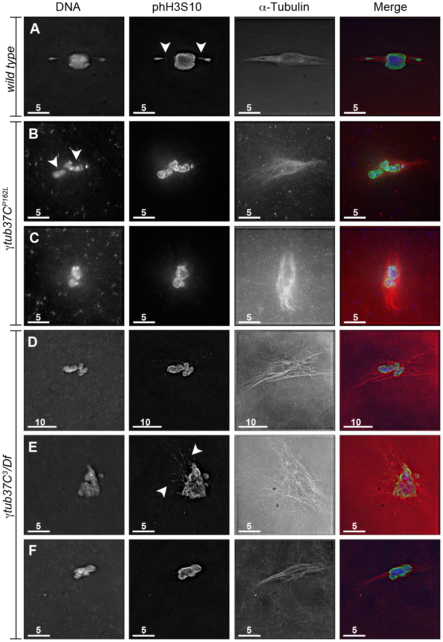<i>γtub37C</i> mutations cause spindle and chromosome defects in oocytes during prometaphase I.