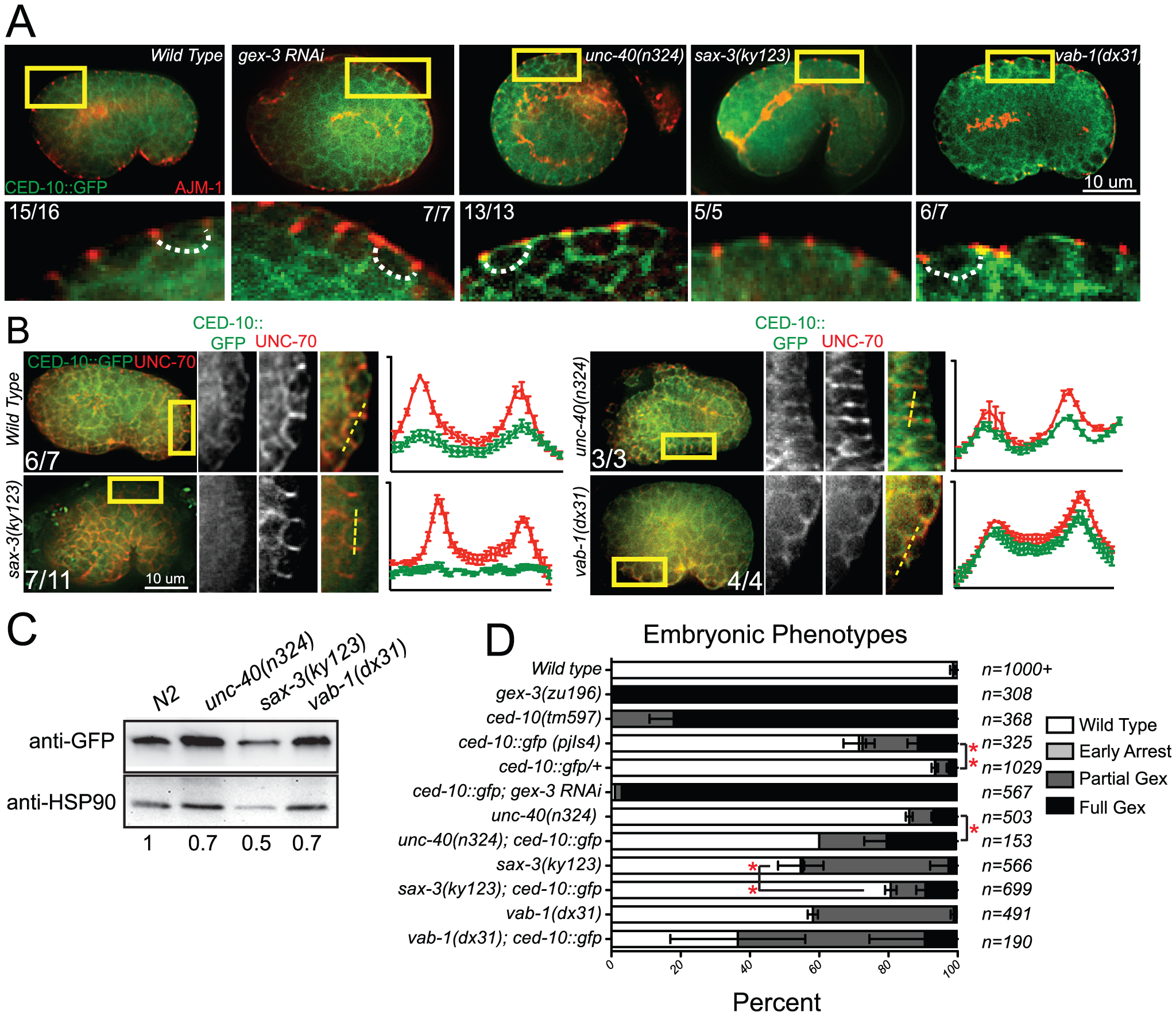 Guidance receptors affect subcellular distribution and levels of the GTPase CED-10/Rac1.