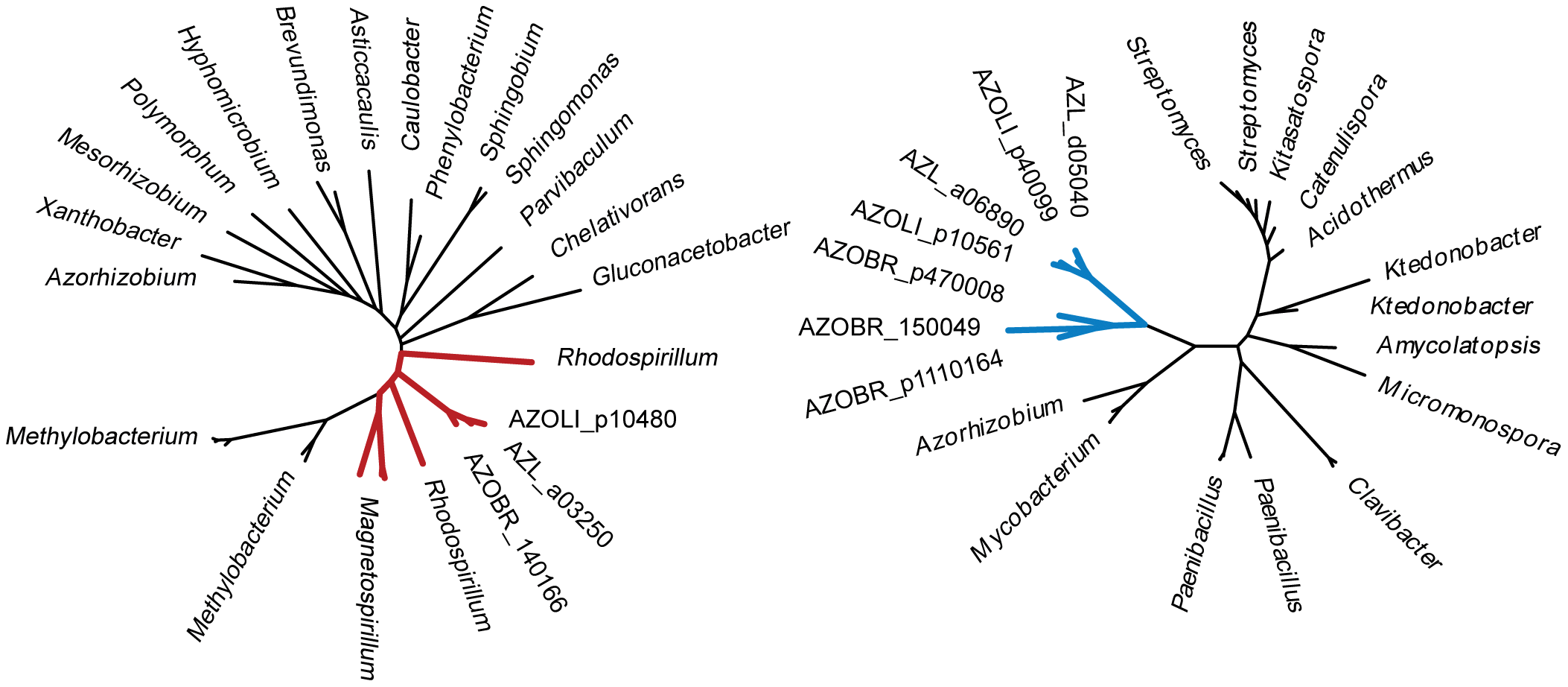 Phylogenetic trees for thiamine synthetase (left) and cellulase (right).