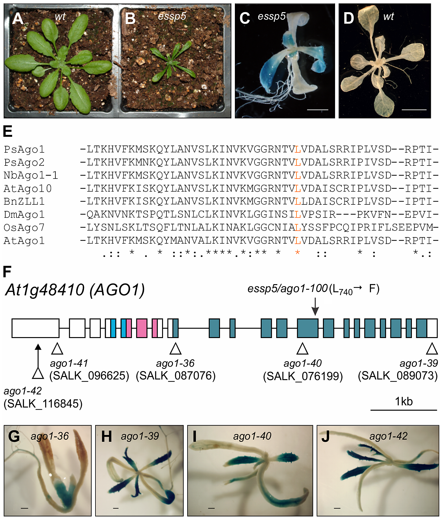 <i>essp5</i> Results in Ectopic Expression of a Seed Marker Gene and Is Allelic to <i>ARGONAUTE1</i>.