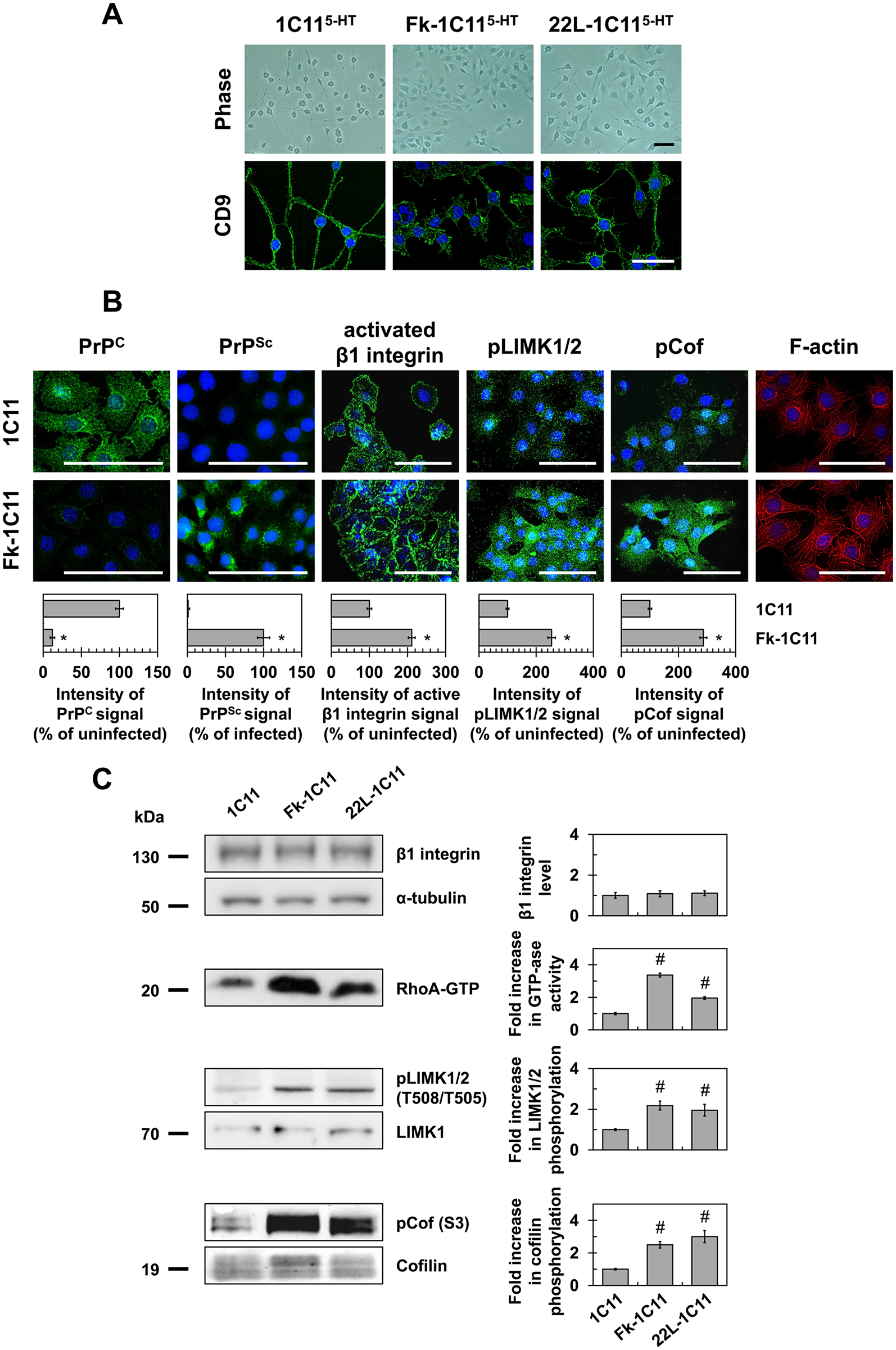 Prion infection of 1C11 neuronal stem cells alters neuritogenesis by overactivating the RhoA-ROCK-LIMK-cofilin pathway and modifying the actin network.