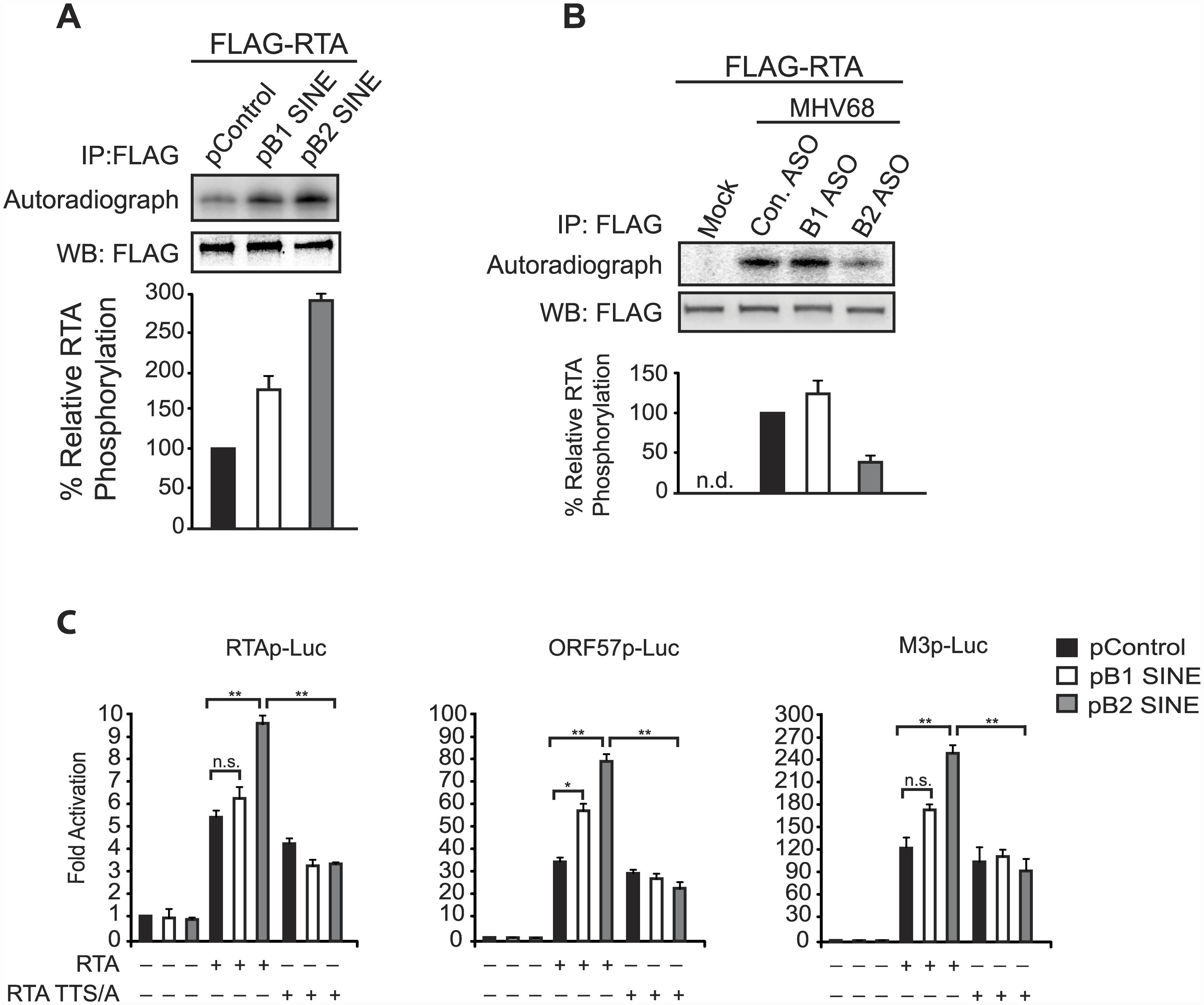 SINE RNA promotes IKKβ-mediated phosphorylation of RTA to potentiate viral transcription.