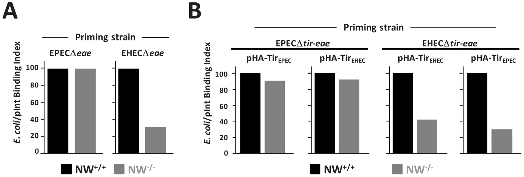 N-WASP is required for efficient intimin-mediated bacterial attachment to the cell surface.