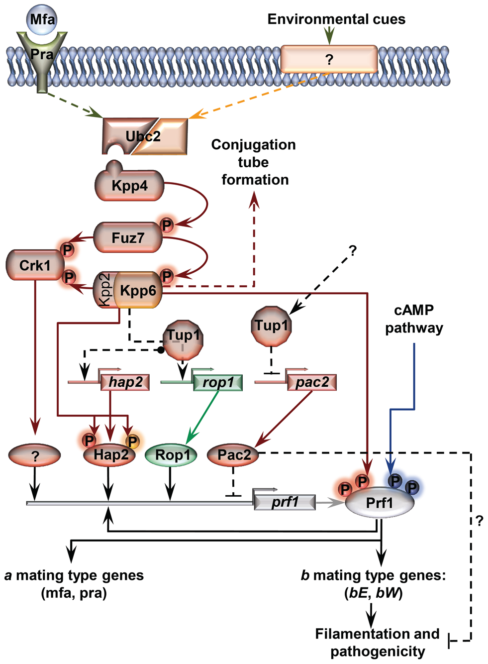 Proposed model for the roles of Tup1 in the control of mating-type genes.