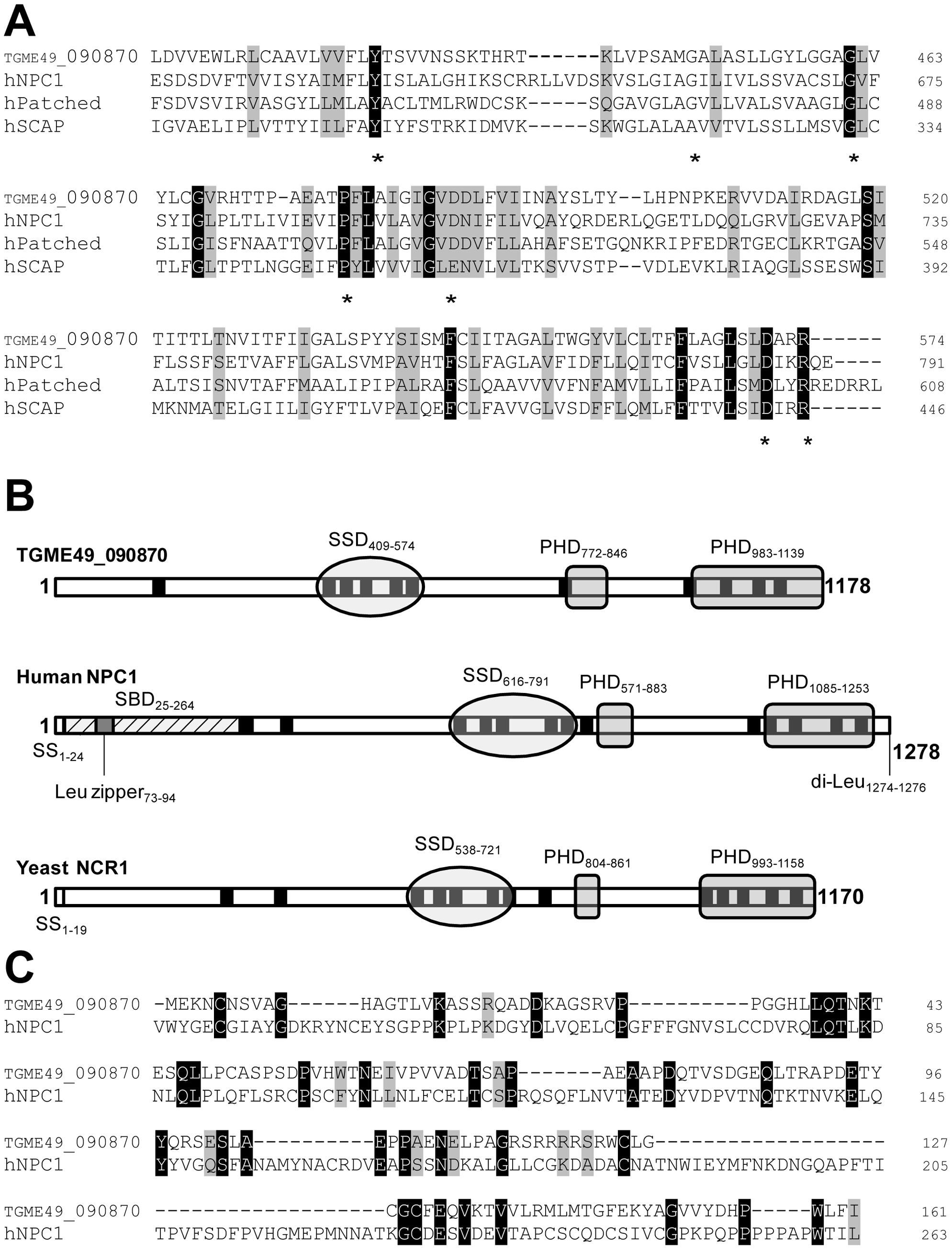 Characteristic features of the predicted sequence of TGME49_090870 displaying a sterol-sensing-like domain and some conserved critical motifs of the NPC1 family.