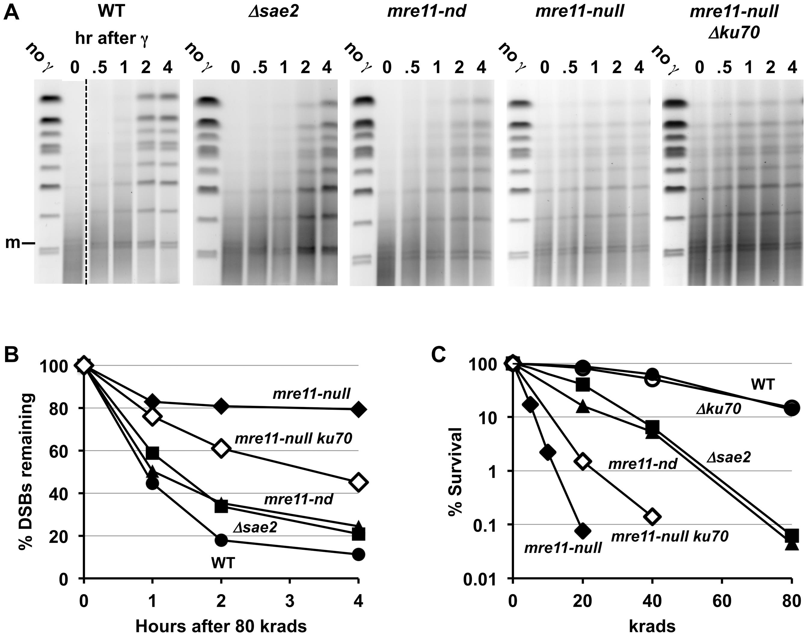 Impact of Δ<i>sae2</i> and <i>mre11-nd</i> mutations on repair of IR-induced DSBs.