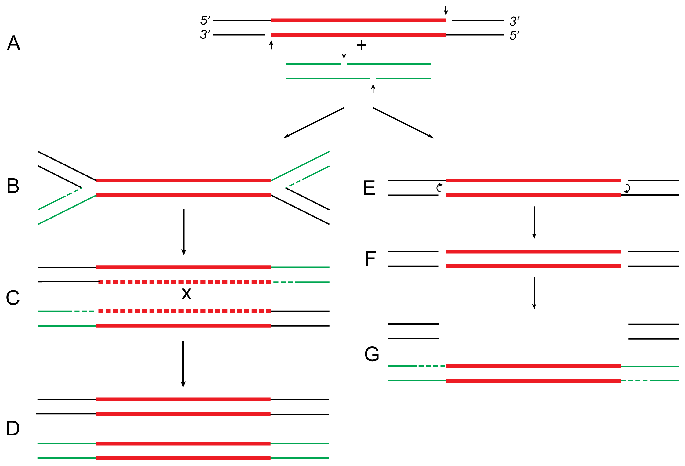 Proposed relationship of replicative and conservative transposition.