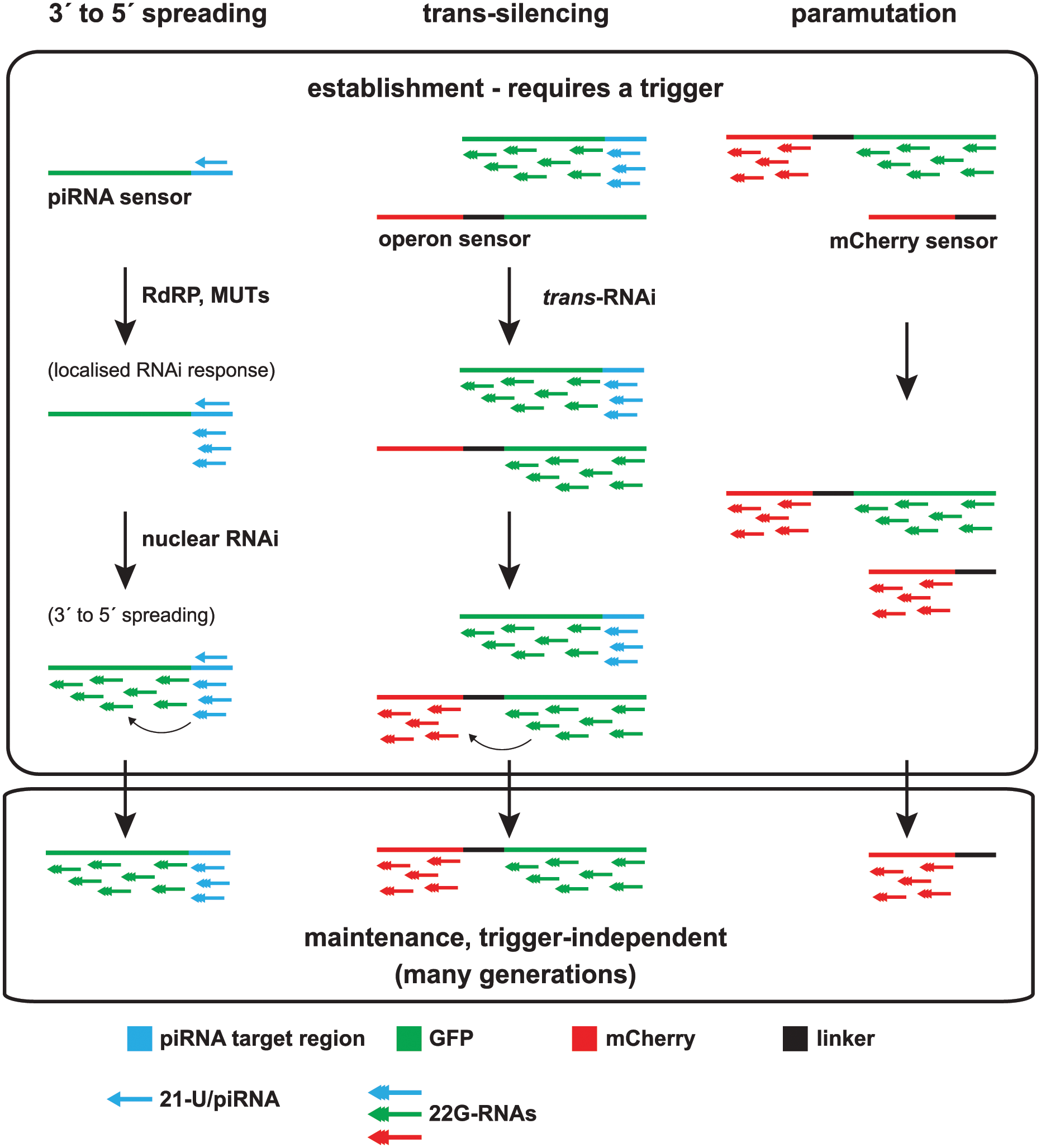Model of multigenerational target gene silencing by piRNAs and downstream 22G-RNAs.