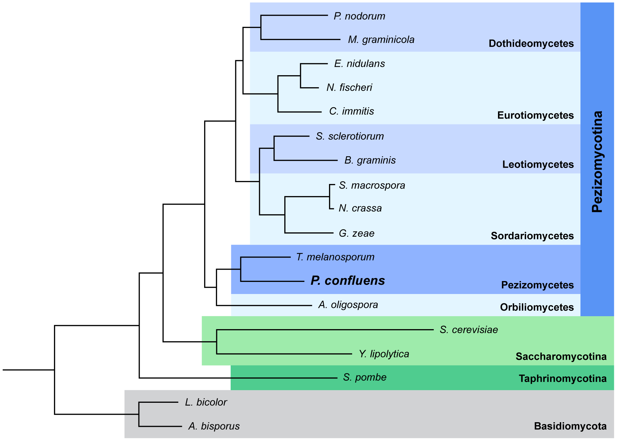 Species tree of 18 fungal species based on phylome reconstruction.