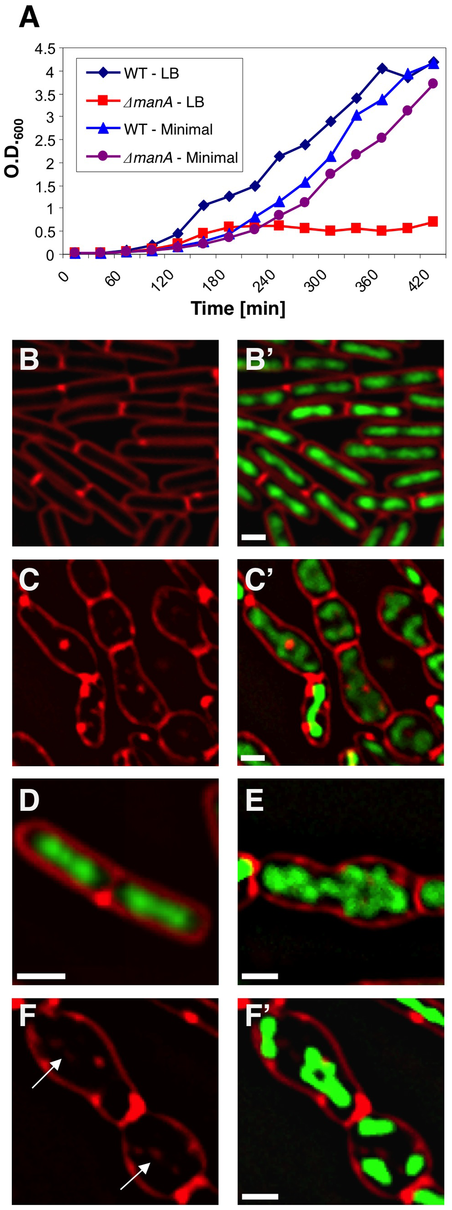 ManA is required for rod shape maintenance and proper chromosome segregation.
