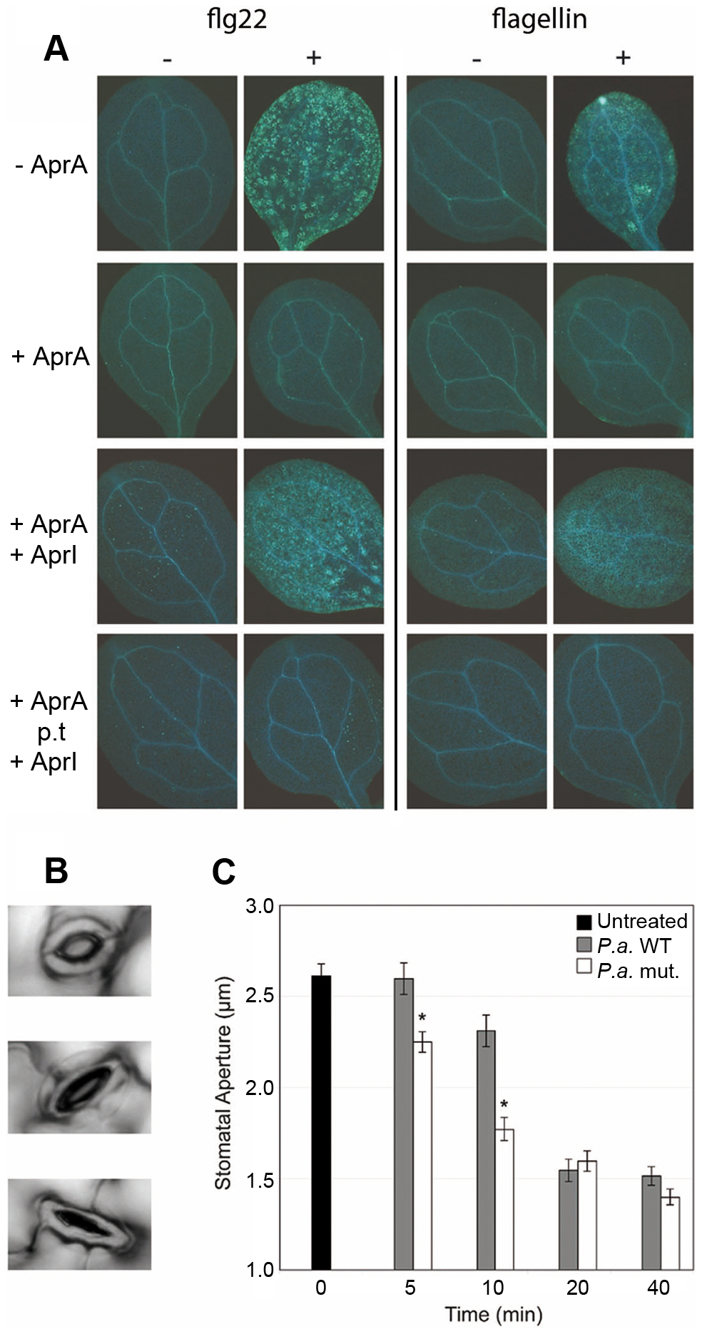 AprA prevents recognition of flagellin in <i>Arabidopsis</i> and prevents stomatal closure.