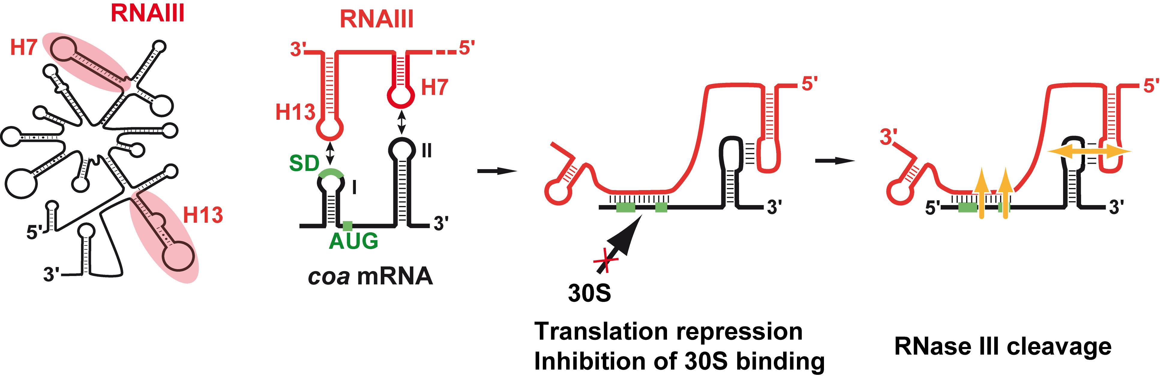 Schematic view of RNAIII-mediated repression of <i>coa</i> mRNA.