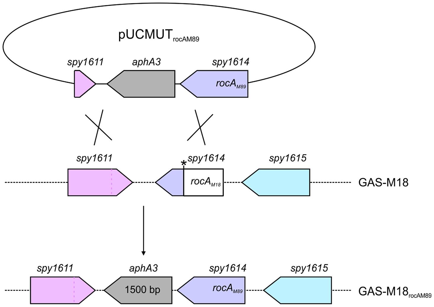 Allelic exchange mutagenesis of <i>rocA</i><sub>M18</sub> with <i>rocA</i><sub>M89</sub> in GAS-M18.