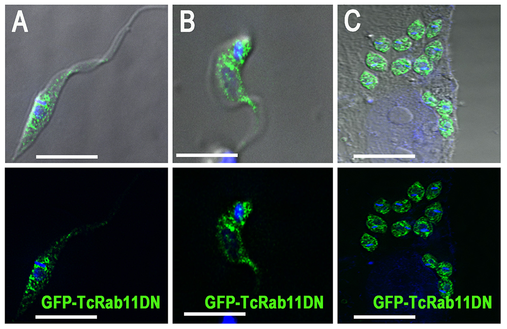 GFP-TcRab11DN localizes to the cytoplasm of different life cycle stages.