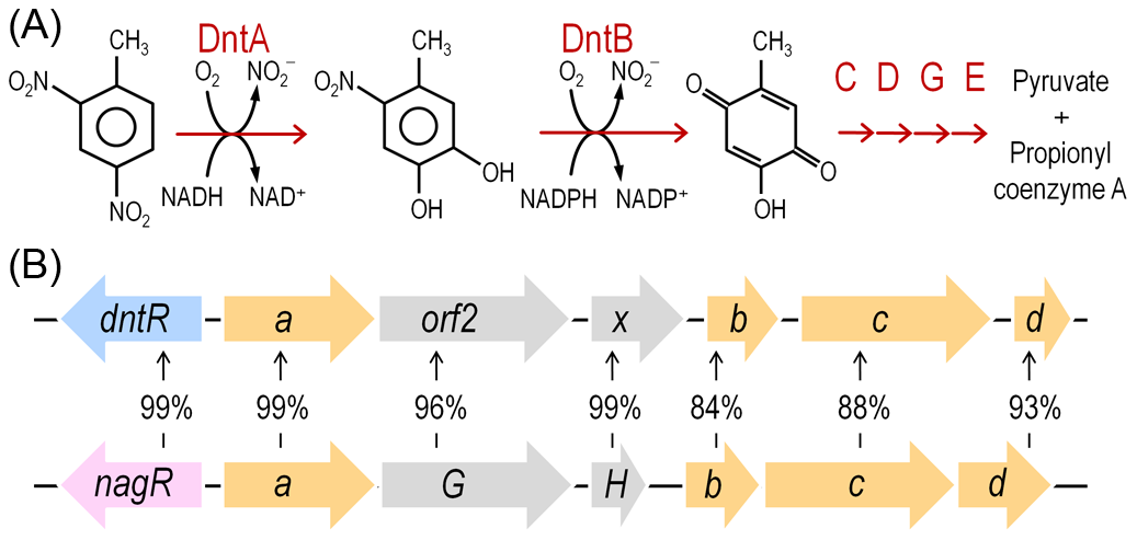 DNT mineralization pathway in <i>Burkholderia</i> sp. DNT and organization of the <i>dnt</i> gene cluster.
