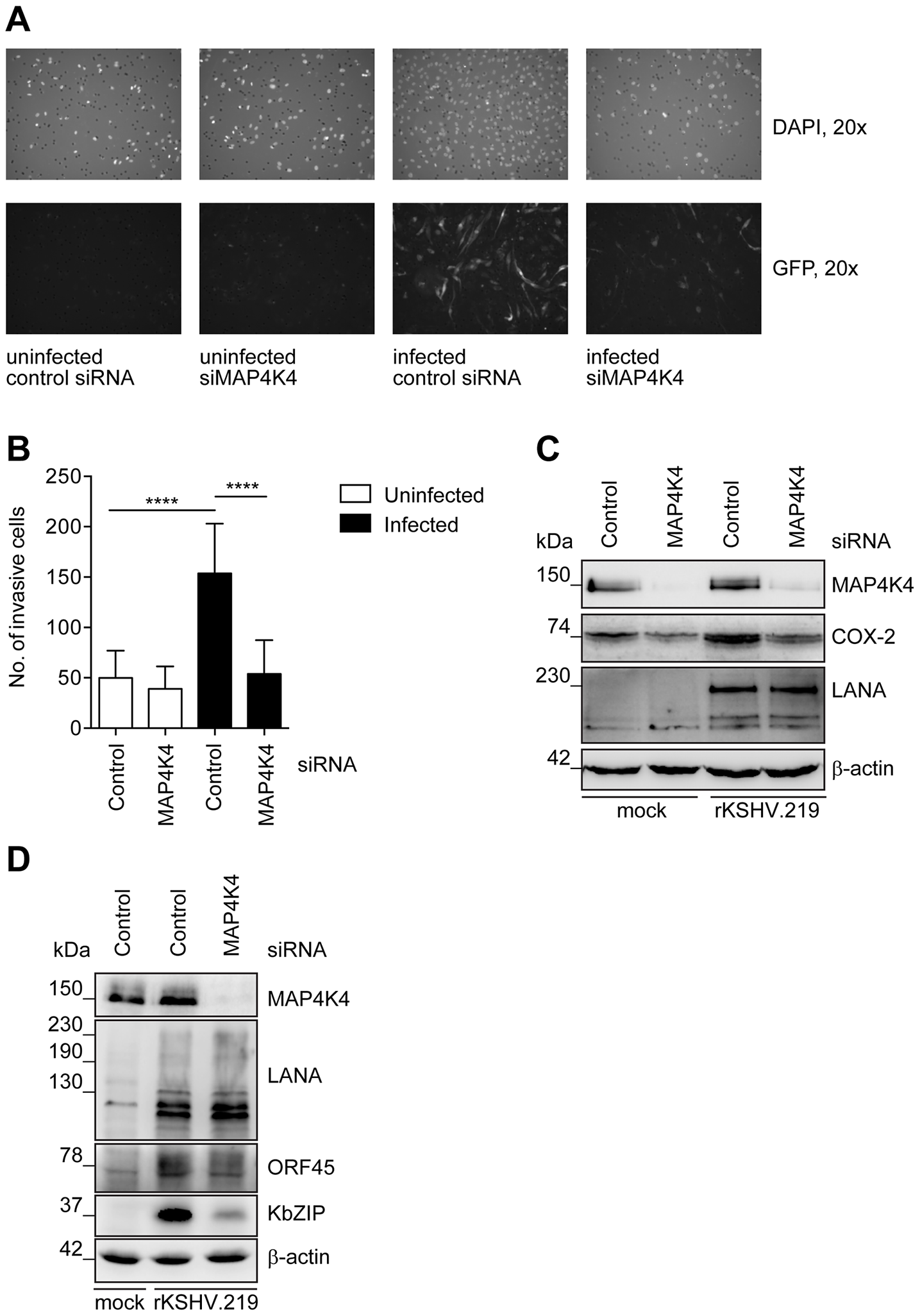 Increased MAP4K4 expression in KSHV-infected primary endothelial cells promotes their invasiveness.