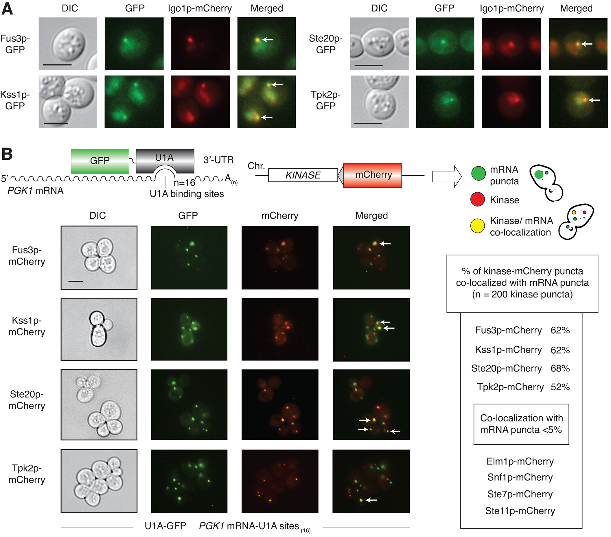 Co-localization of Fus3p, Kss1p, Ste20p, and Tpk2p with mRNPs.