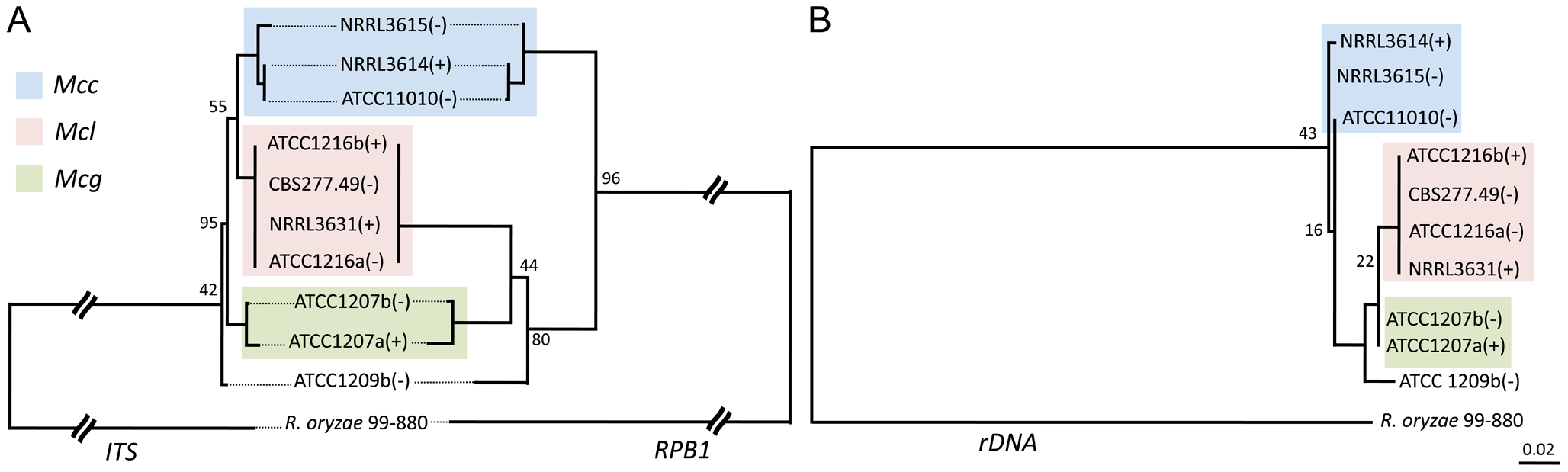 Phylogenetic relationships of the <i>M. circinelloides</i> subspecies.