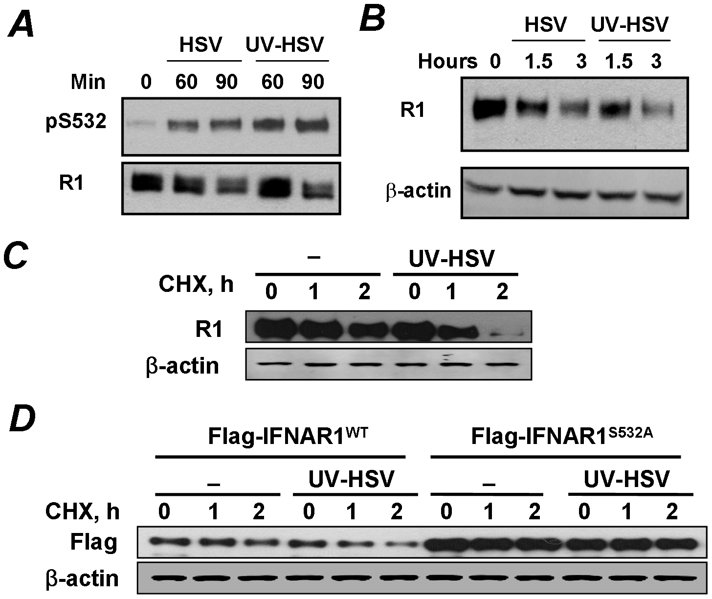 Phosphorylation, downregulation and degradation of IFNAR1 can be stimulated by inactivated HSV.