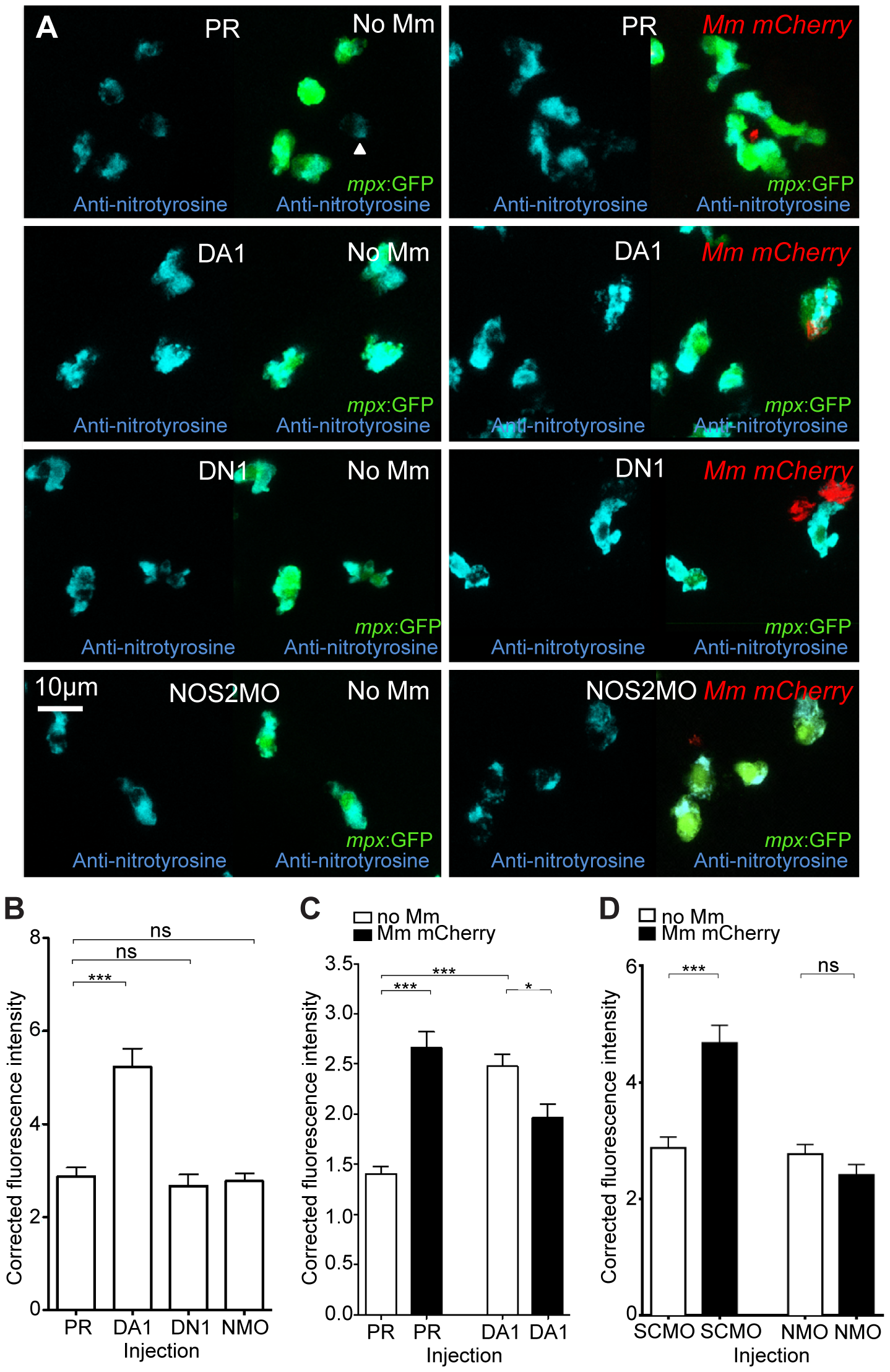 Nitrosylation levels are increased in unchallenged leukocytes with stabilized Hif-1α.