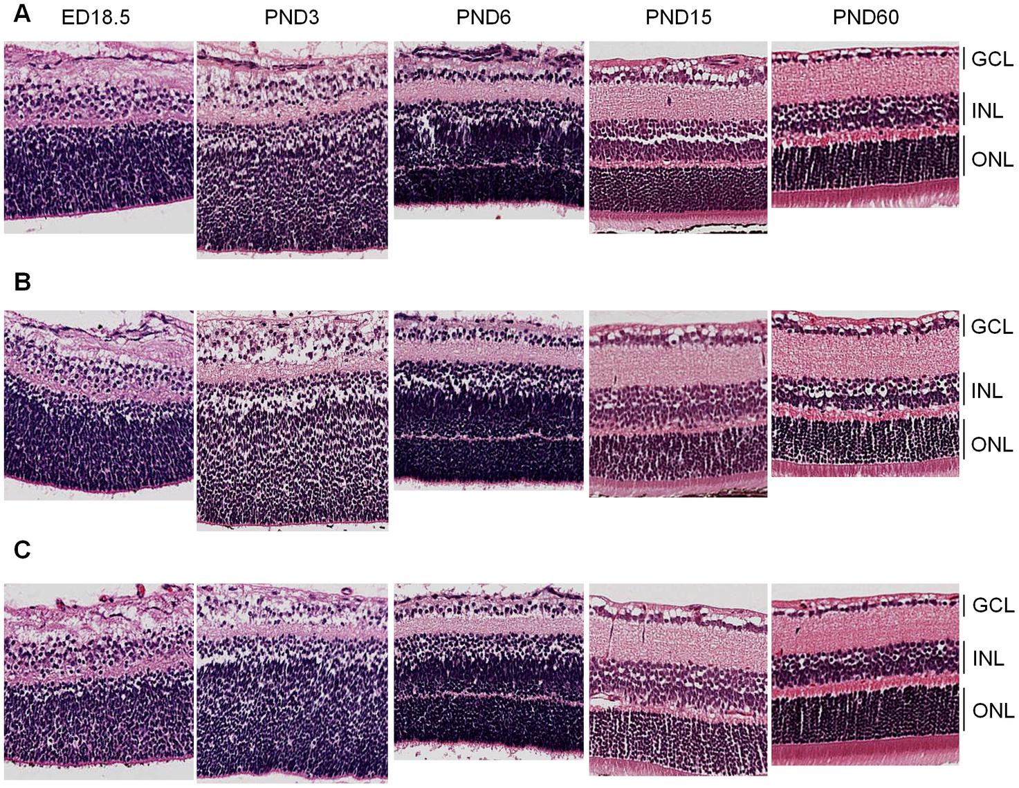 Retinal histology of <i>Cdh11</i><sup>+/+</sup>, <i>Cdh11</i><sup>+/-</sup>, and <i>Cdh11</i><sup>-/-</sup> littermates.