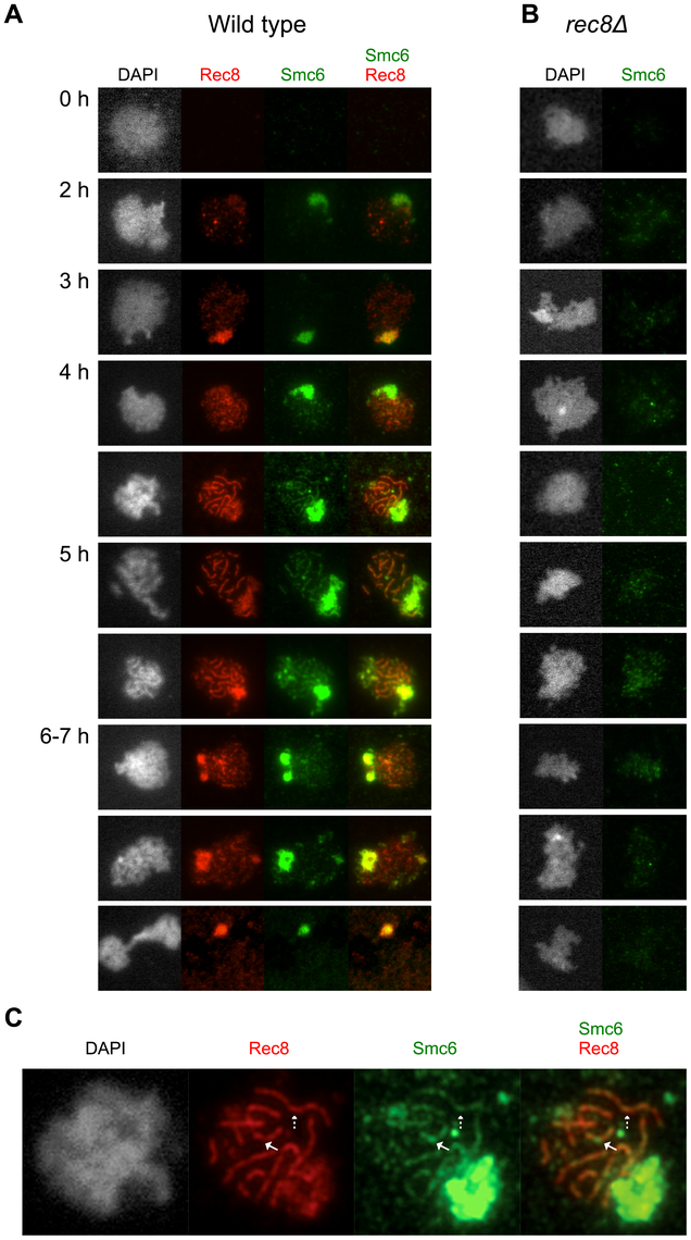 The Smc6 protein localizes to meiotic chromosomes during prophase in a cohesin- dependent manner.
