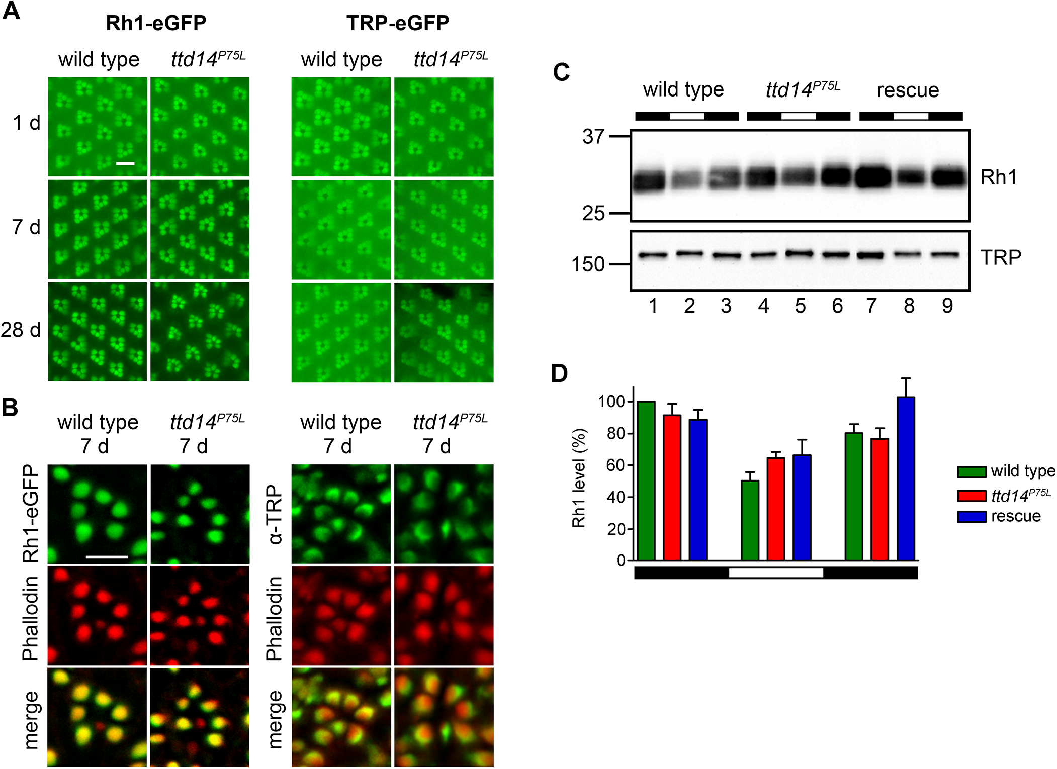 Rhabdomeral localization of Rh1 and TRP is not affected in the <i>ttd14</i><sup><i>P75L</i></sup> mutant.