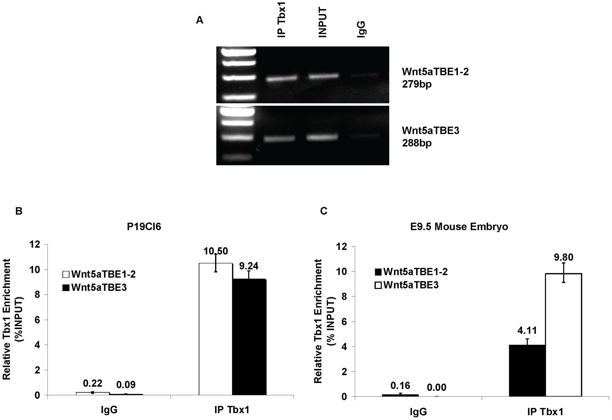 <i>Tbx1</i> occupies the TBEs of <i>Wnt5a</i> in P19Cl6 cells.