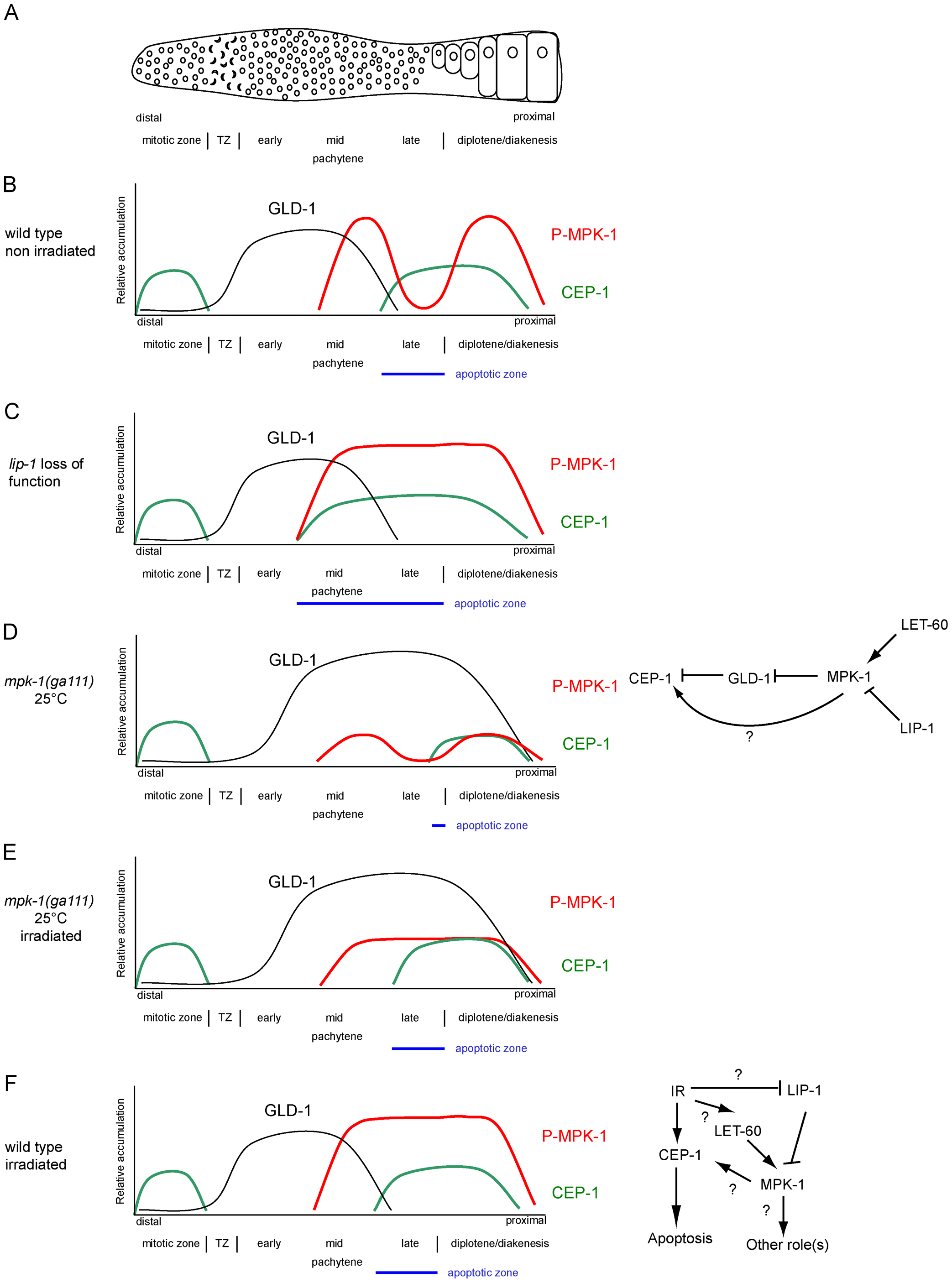 CEP-1 regulation by MPK-1 signaling.