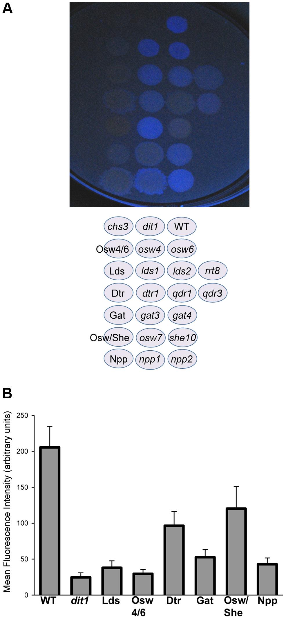 The effect of deletion of paralog sets on dityrosine fluorescence.