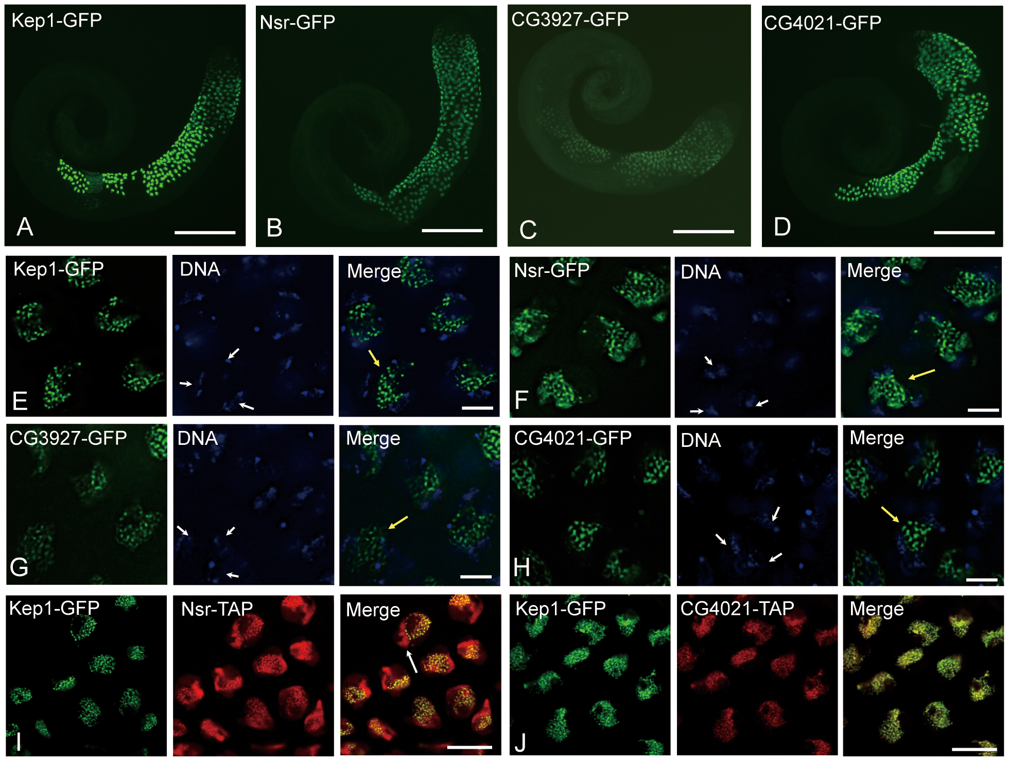 Expression analysis of <i>kep1</i> family proteins by GFP transgene in <i>D. melanogaster</i>.
