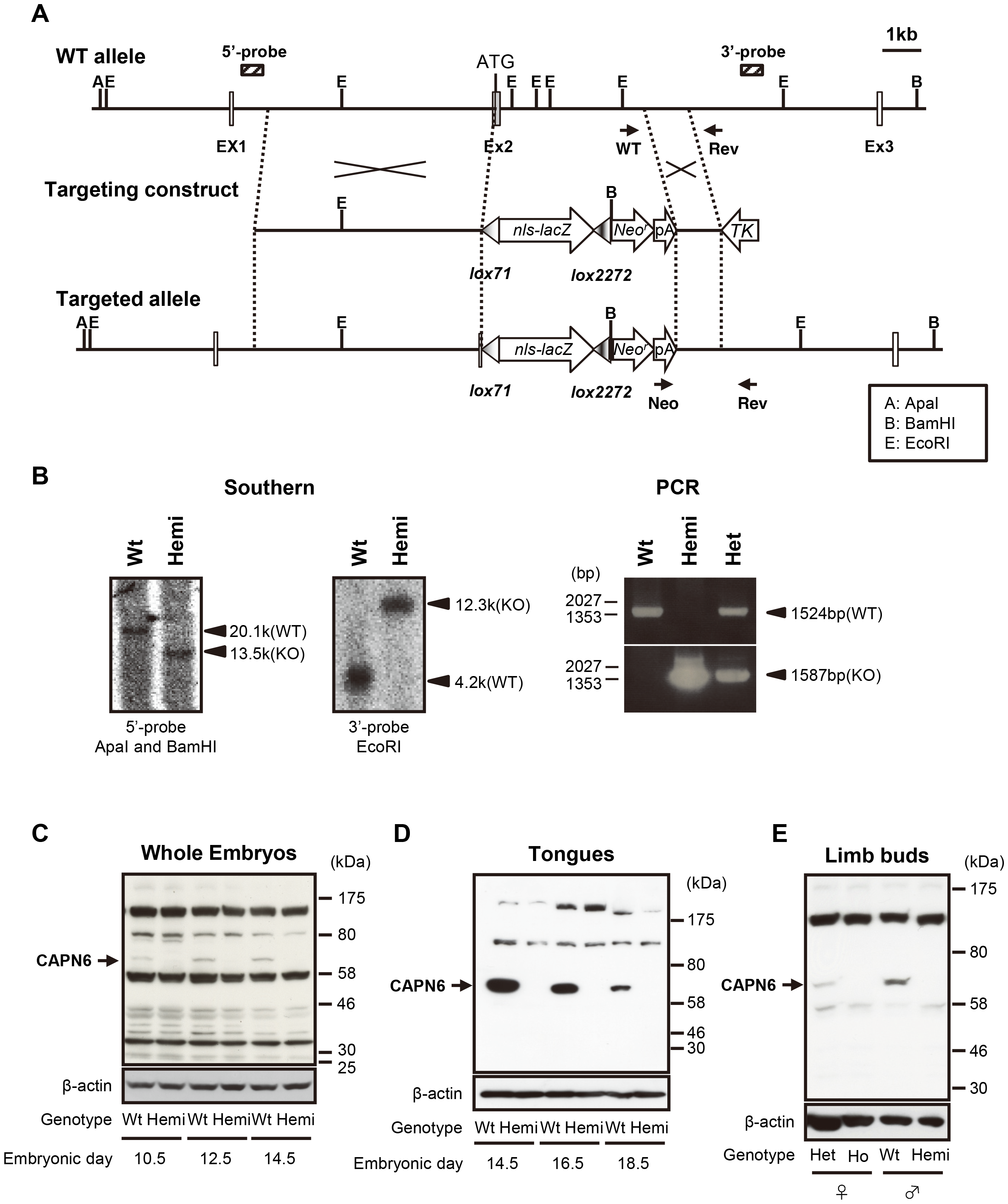 Targeted disruption of the <i>Capn6</i> gene.