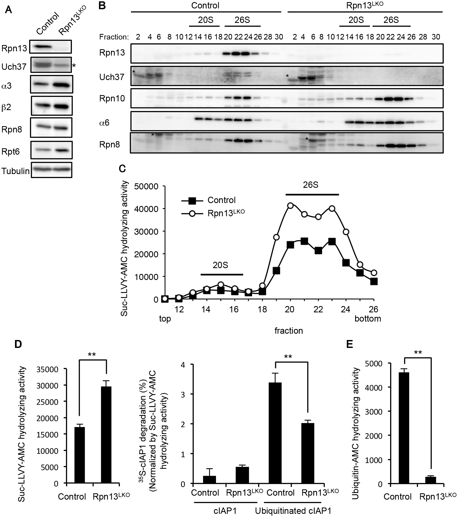 Rpn13 deficiency in the liver impairs degradation of ubiquitinated proteins.