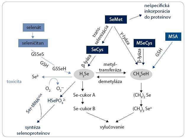 Schematická ilustrácia metabolických dráh selénu.