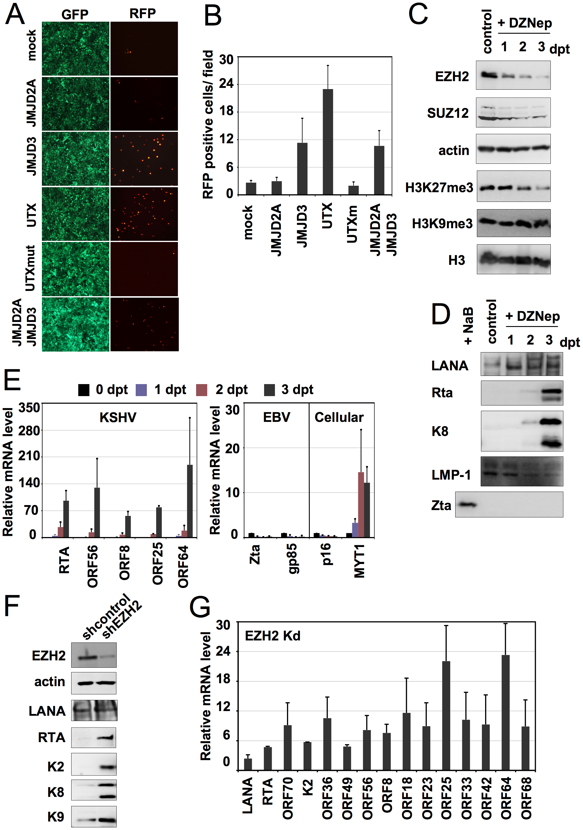 Polycomb group proteins are involved in the maintenance of latency of KSHV.