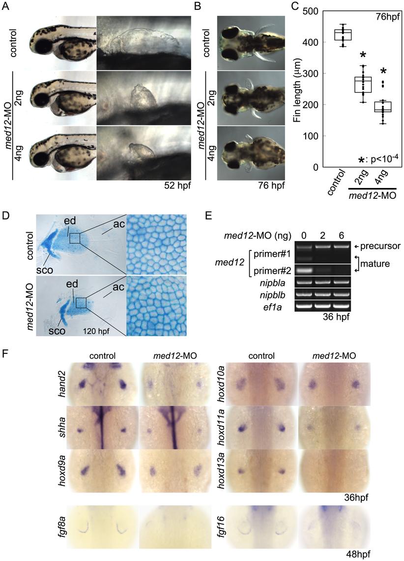 Med12 depletion disrupts pectoral fin morphology and gene expression similar to Nipbl depletion.
