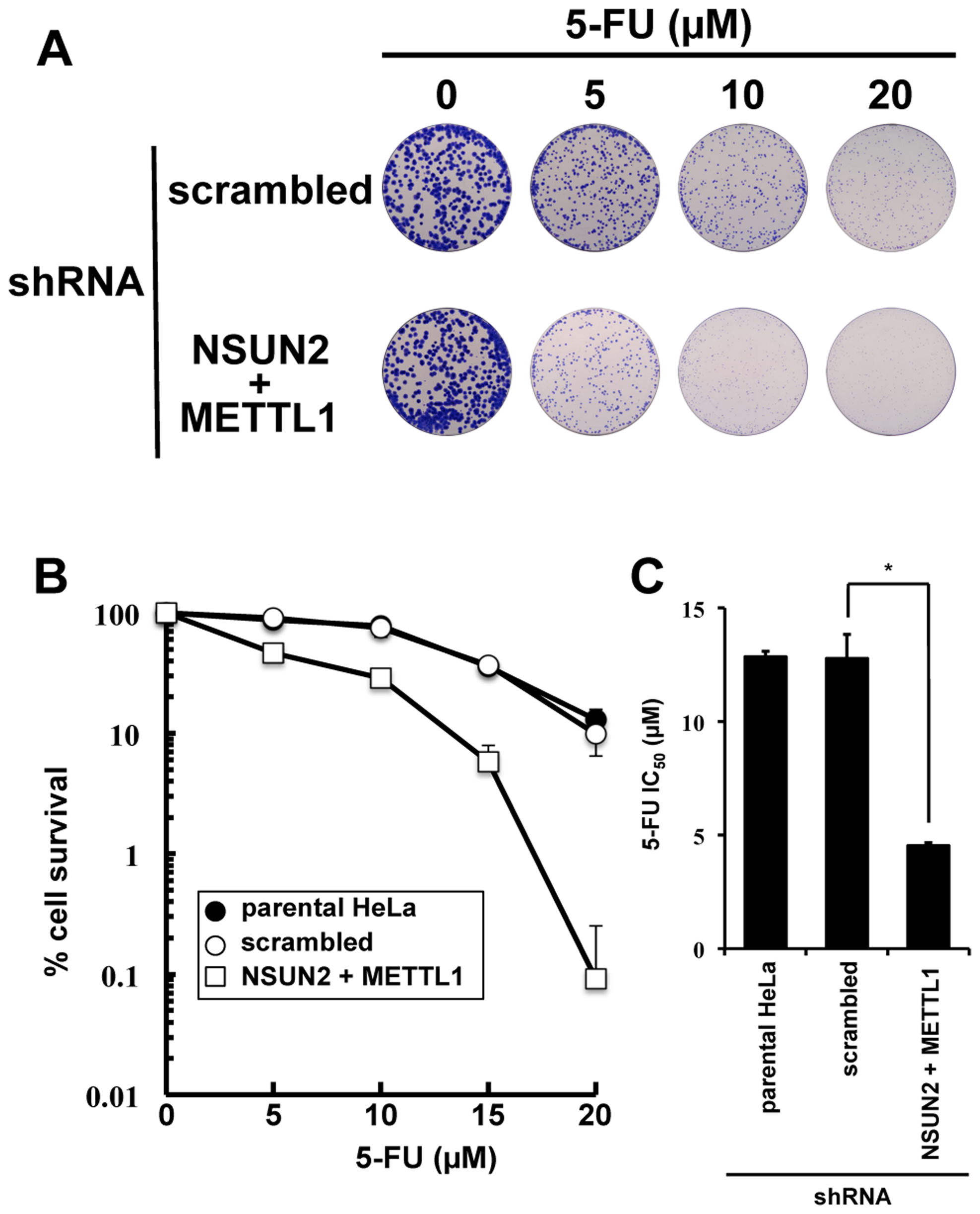 Colony formation assay showing synergistic effects of NSUN2 and METTL1 double knock down and 5-FU-treatment.