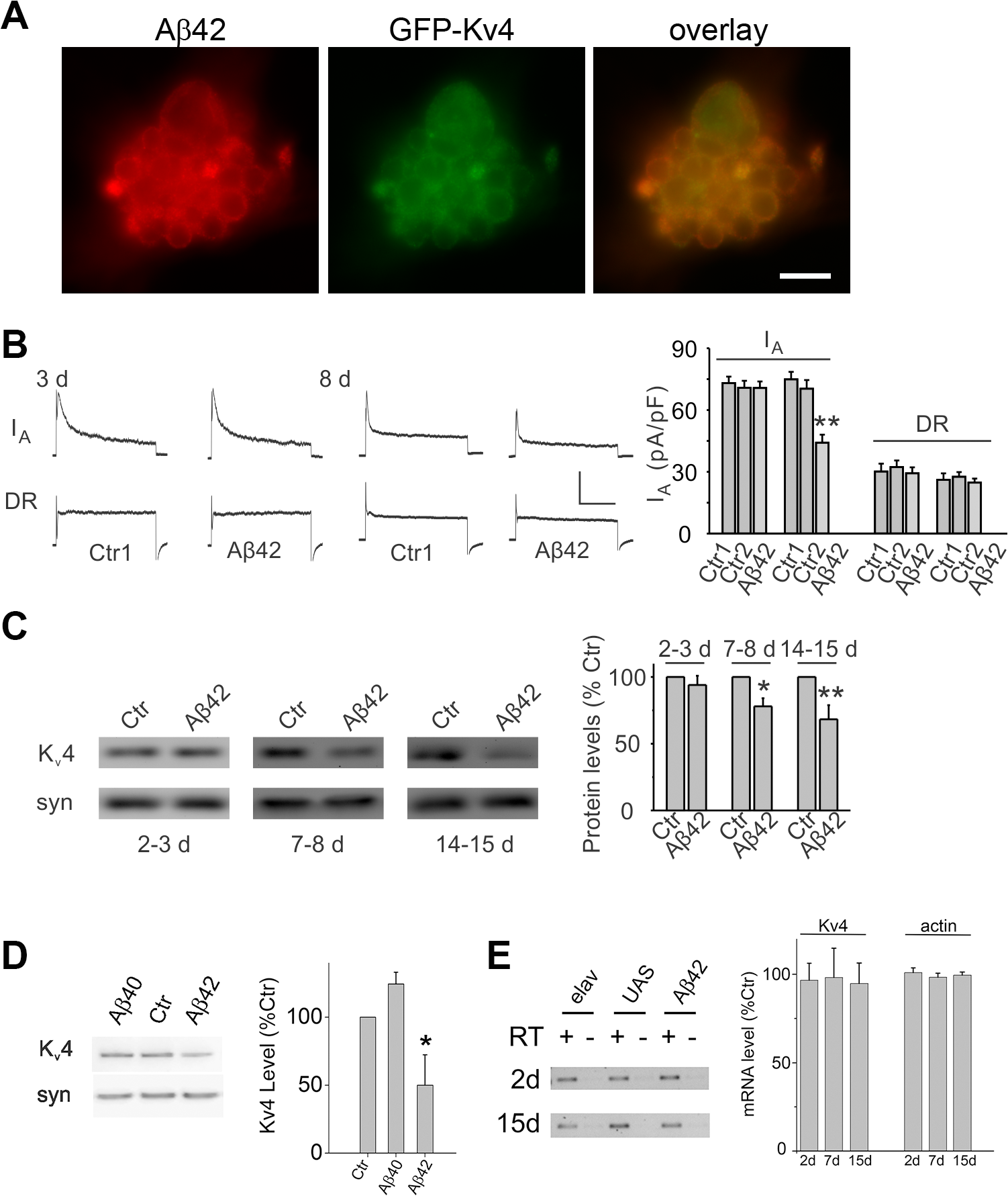 Expression of Aβ42 decreases K<sub>v</sub>4 protein and currents in the intact brain.