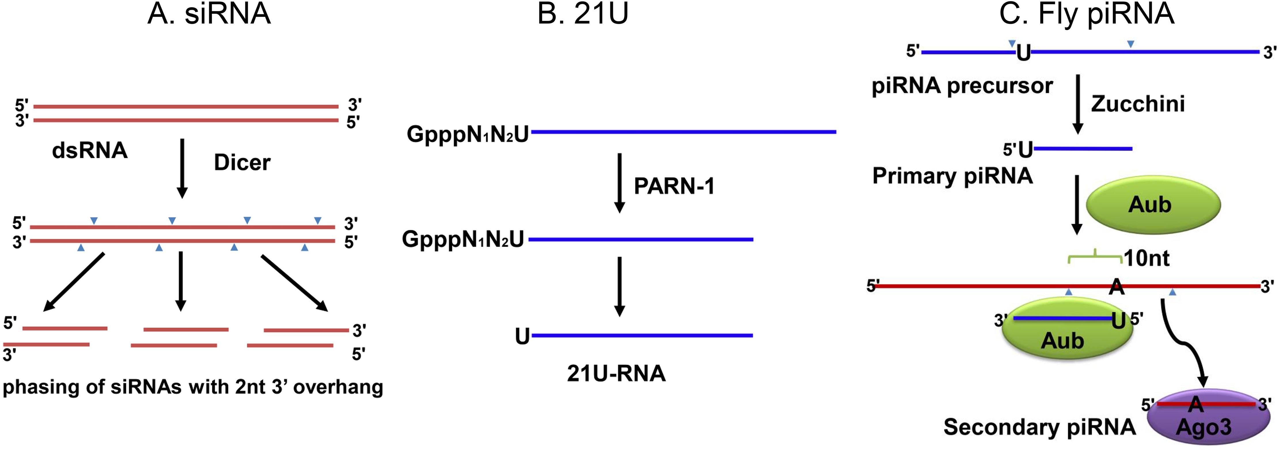 The biogenesis of siRNAs and piRNAs.