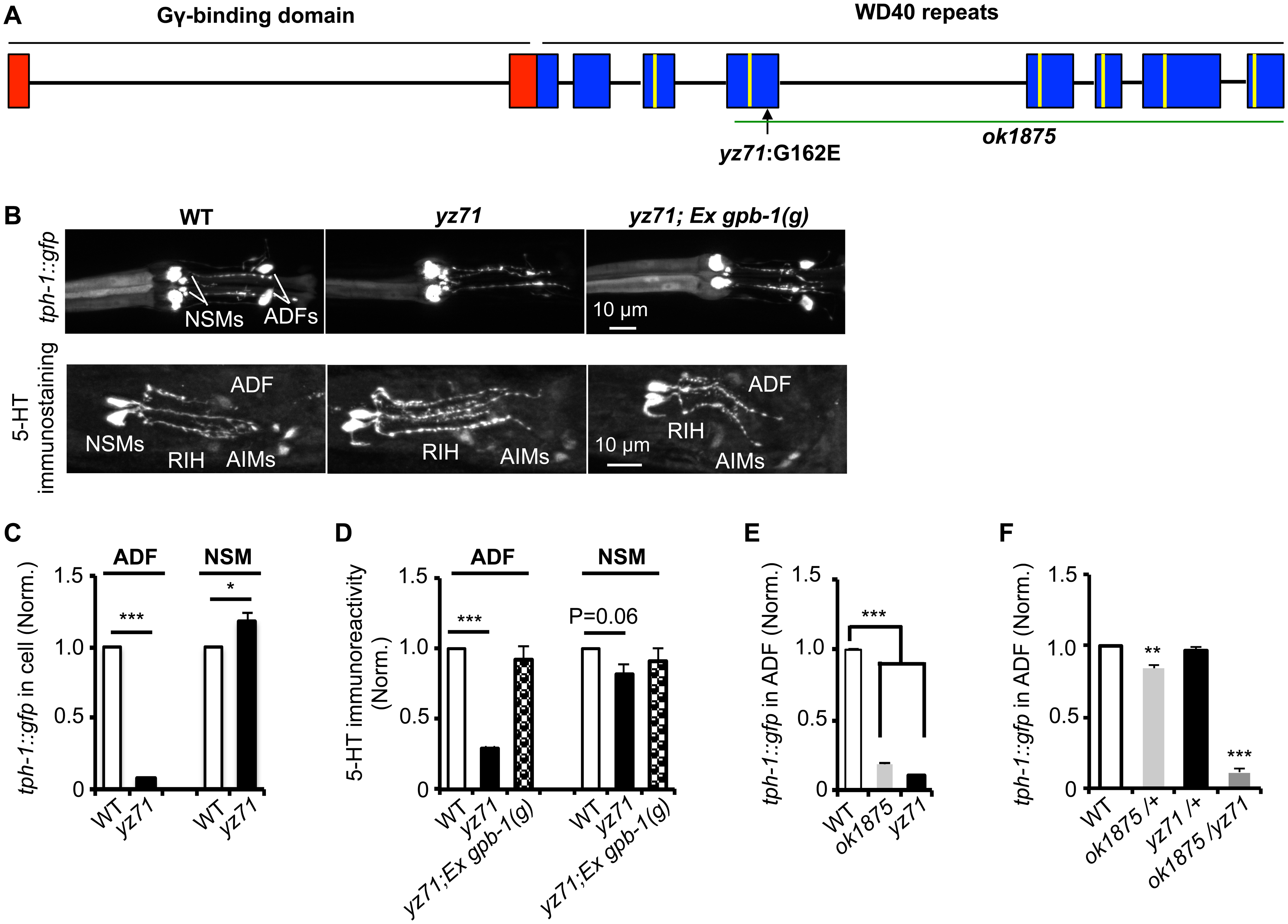 <i>gpb-1</i> deficient mutants specifically diminish 5-HT synthesis in ADF neurons.
